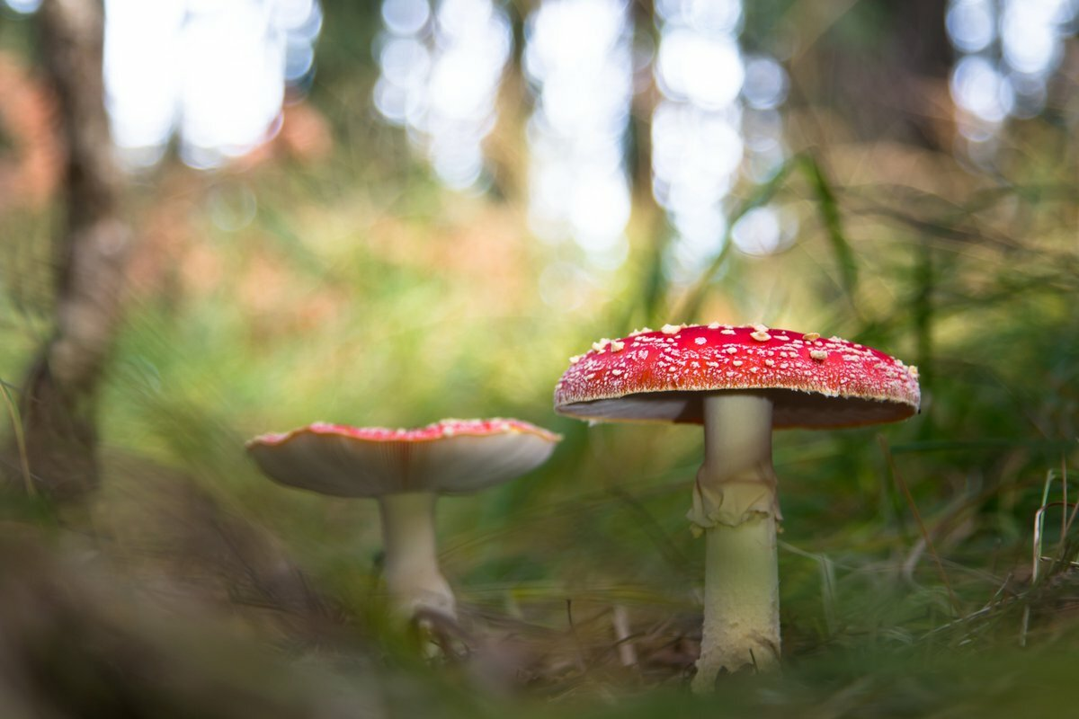 Fliegenpilze im herbstlichen Wald. Foto: Wilfried Martin